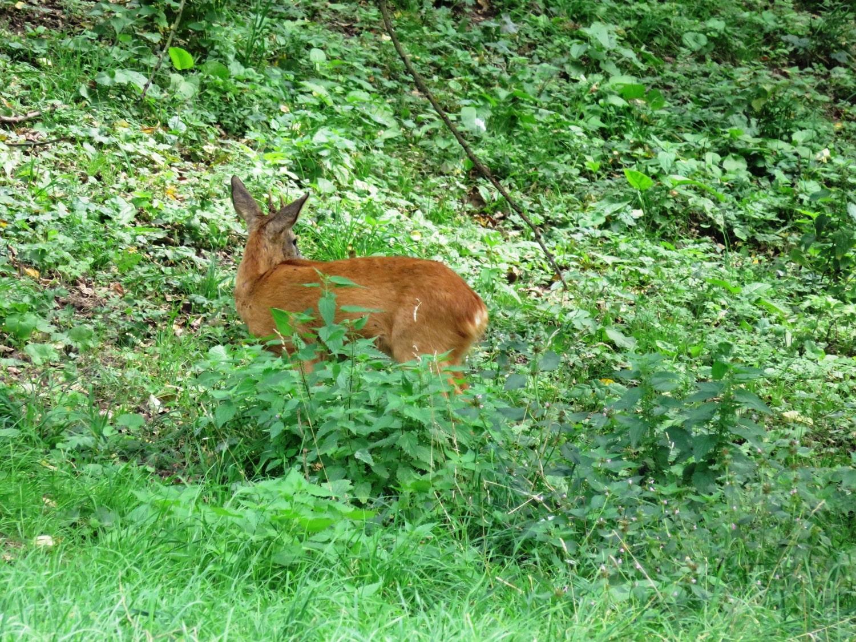 Rheinsteig Stage 3 - Deer in the bushes