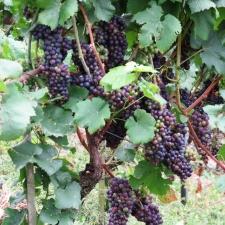 Rheinsteig Stage 4 -Grapes at Rheinsteig