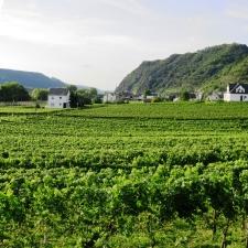 Rheinsteig Stage 4 -vineyards in Hammerstein