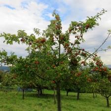 Rheinsteig Stage 5 - Apple tree on orchard meadow