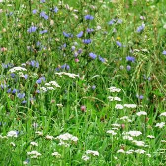 Rheinsteig Stage 5 - Meadow with wild flowers on the Rheinsteig